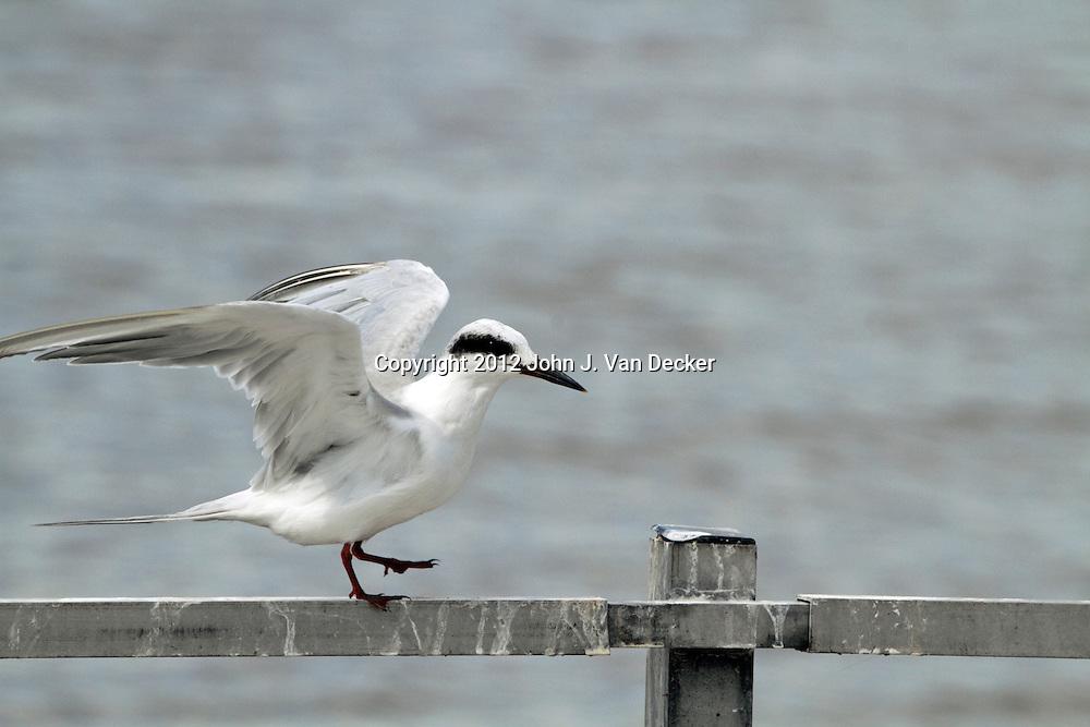 An immature Forster's Tern, Sterna fosteri, balancing after landing on a rail. Richard DeKorte Park, Lyndhurst, New Jersey, USA