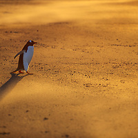 A gentoo penguin walks along the beach in heavy wind, the Neck, Falkland Islands, 2017