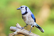 Blue Jay at my backyard feeder.