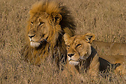 Male and female lions, Serengeti National Park Tanzania