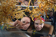 Brown algae Left: Common Sargasso Weed or Common Gulfweed (Sargassum natans) - Brown algae Right: Sargasso Weed or Broad-toothed Gulfweed (Sargassum fluitans) Sargassum Community. Sargasso Sea, Bermuda