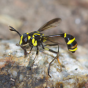 Ceriana sp., wasp mimicking hover fly (Syrphidae). This hoverfly mimics potter wasps. Kaeng Krachan Forest Complex, Thailand.