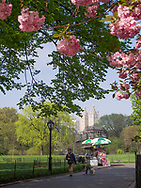 Cherry blossoms and a food vendor at the Great Lawn in Central park with a view of the San Remo apartment towers.