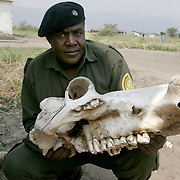 November 30, 2005 - Congolese park ranger John Salomon holds a hippo skull at Virunga National Park near Goma, in Eastern Congo. The hippo population has been decimated due to poaching by rebel soldiers hiding in the park since the beginning of Congo's civil war. Photo by Evelyn Hockstein