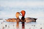 Redhead, Aythya americana, male & female, Logan Co., North Dakota