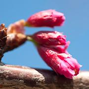 Cherry blossom buds in Alishan Township,Chia Yi County, Taiwan
