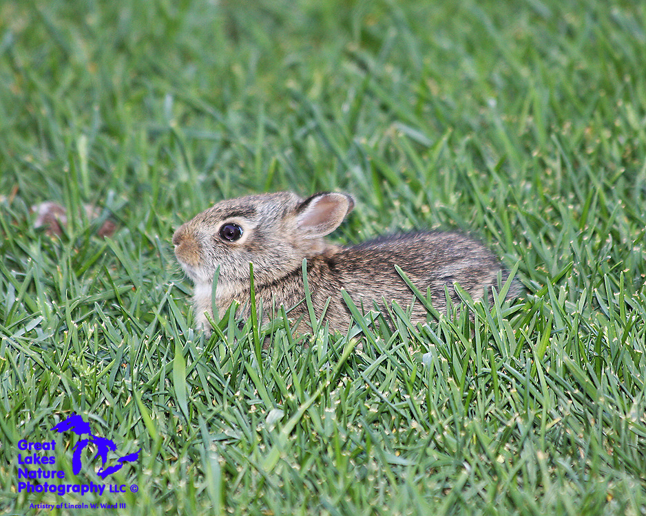 To say that Cottontail Rabbits are plentiful in the Great Lakes region is a bit of an understatement. They find forests and suburban yards equally appealing. They seem to enjoy consuming just about anything that is green. At the same time, they're just soooo cute when they're little. This little guy was trying his hardest to hide from me.