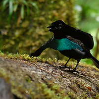 The incredible vibrance of many Birds-of-paradise is in part due to the deep black feathers which make their more colorful plumage simply 'pop'. A recent study looking closely at these black feathers found that they had a unique nanostructure that is super-efficient in light absorption. This results in one of the darkest blacks found in nature, rivaling those of highly specialized synthetic materials. Here, a Vogelkop Superb Bird-of-paradise (Lophorina niedda) waits at his display (a fallen log) for the arrival of a female.