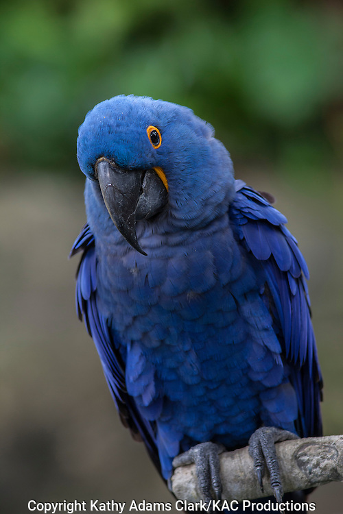 Hyacinth Macaw, Anodorhynchus hyacinthinus, Moody Gardens, Galveston, texas.