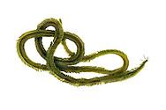 Phyllodoce groenlandica