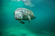 A Florida Manatee, Trichechus manatus latirostris, a rare and endangered species, swims in Three Sisters Spring in Crystal River, Florida, United States.