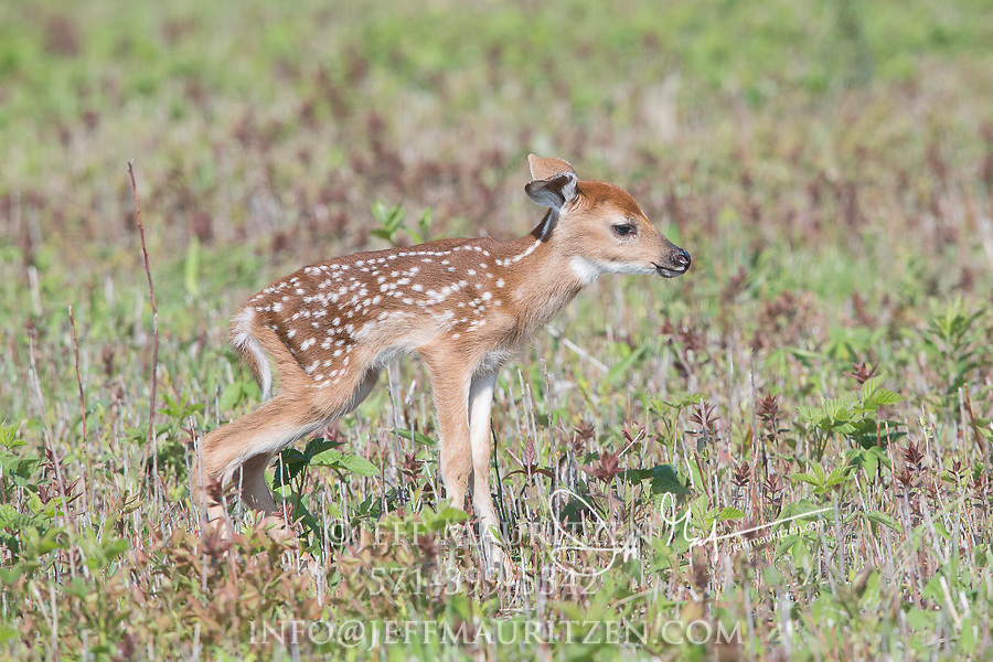 A just born White-tailed deer fawn stands in a grass field.