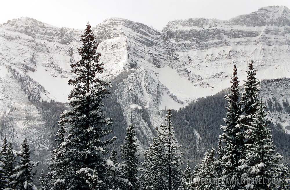 Freshly fallen snow on the pine trees in front of the sheer Canadian Rockies in the background along the Icefields Parkway between Banff and Jasper.