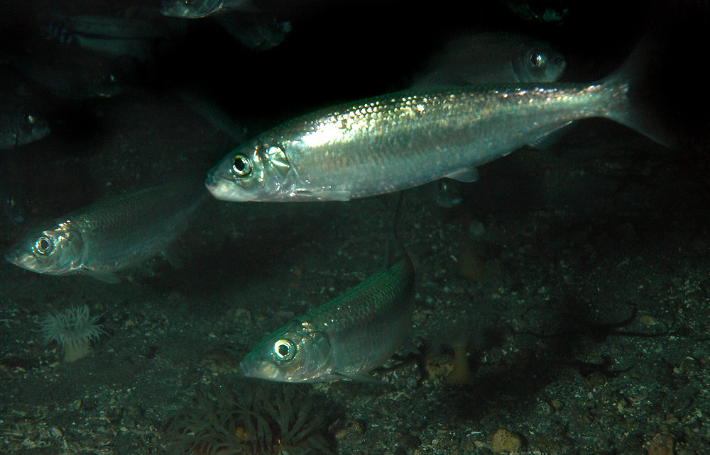 Atlantic herring (Clupea harengus). Location: Atlanterhavsparken, Norway