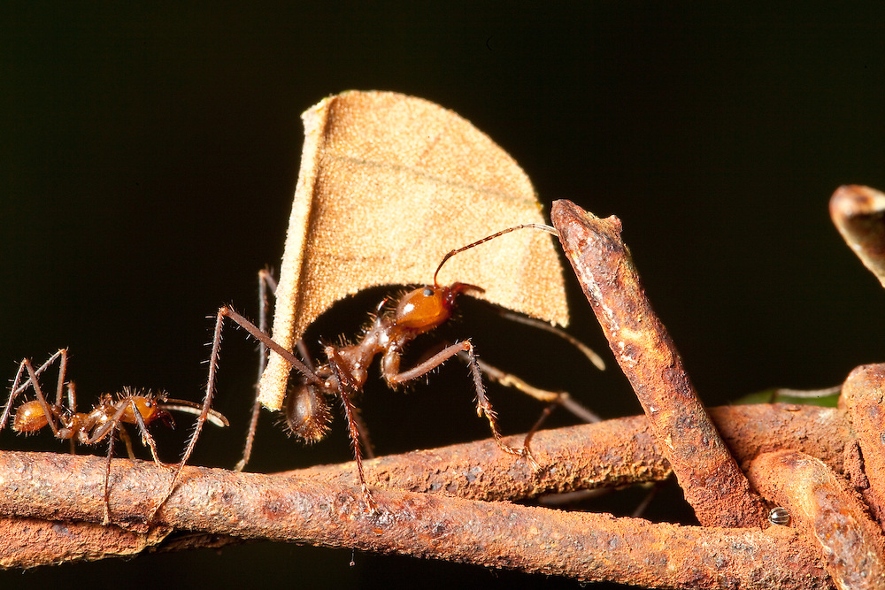 Leaf-cutter ants on barbed wire fence