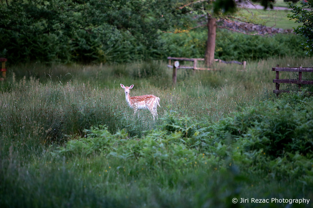 UK ENGLAND LEICESTERSHIRE NEWTOWN LINFORD 30JUN15 - Deer at the river Soar at Bradgate Park in Leicestershire.<br /> <br /> jre/Photo by Jiri Rezac / WWF UK<br /> <br /> © Jiri Rezac 2015