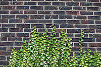 Concrete wall with ivy growing up it