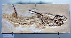 15.03.2016, Museum fuer Naturkunde, Berlin, GER, Naturkundemuseum Berlin, im Bild Versteinerung eines Stachelrueckenhai (Hybodus fraasi)) // Exhibits in the Natural History Museum Museum fuer Naturkunde in Berlin, Germany on 2016/03/15. EXPA Pictures © 2016, PhotoCredit: EXPA/ Eibner-Pressefoto/ Schulz<br /> <br /> *****ATTENTION - OUT of GER*****