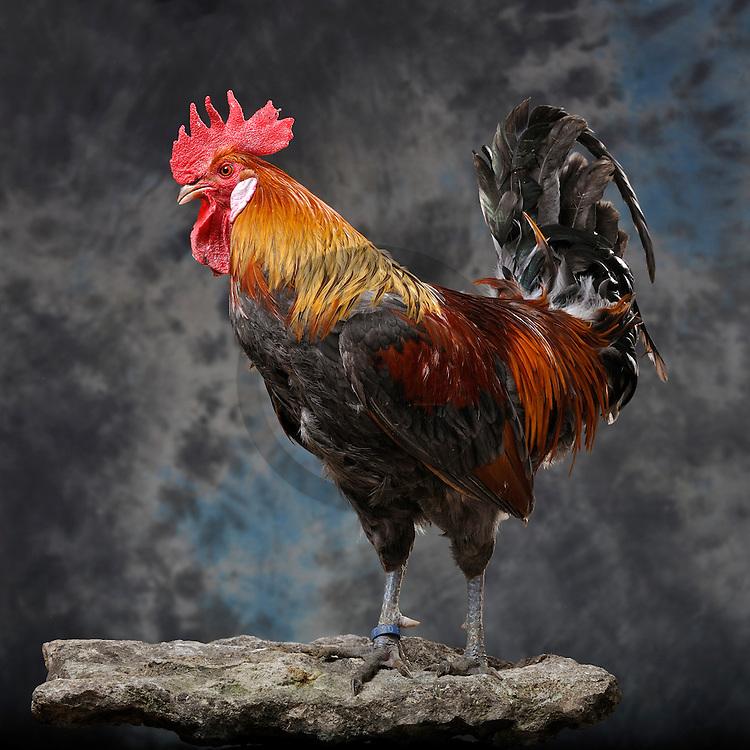 05/05/08 - LAMOTTE BEUVRON - LOIR ET CHER - FRANCE - Elevage avicole de Pascal BOVE. - Photo Jerome CHABANNE