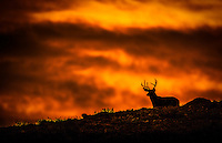 a large mule deer buck crests over a an old glacial morain as the heavens catch fire from a birlliant sunrise behind him