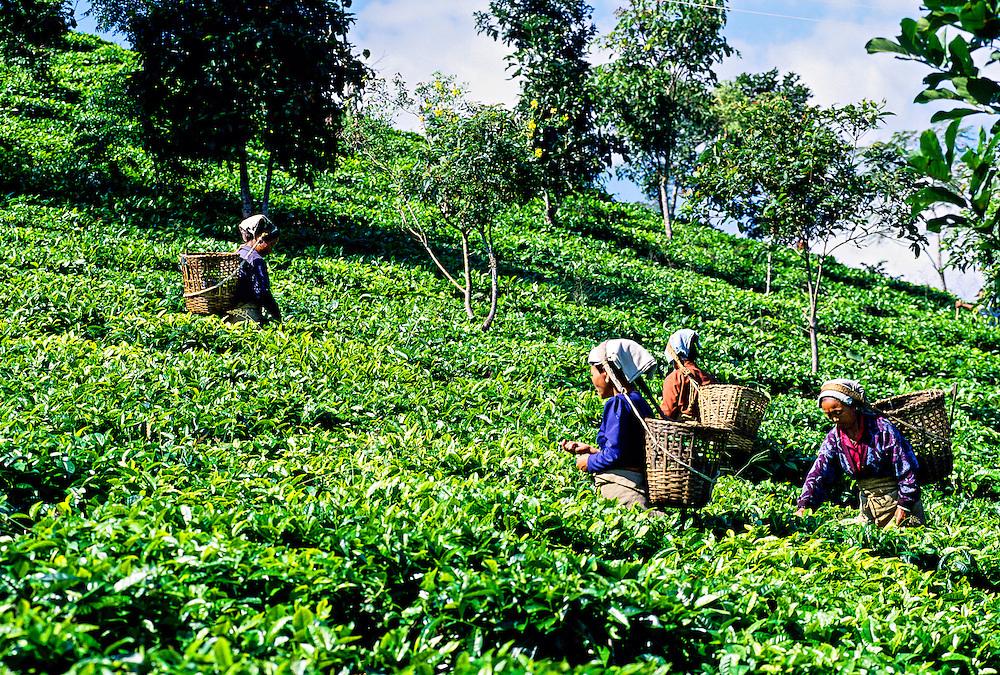 Women picking tea leaves near Darjeeling, West Bengal, India