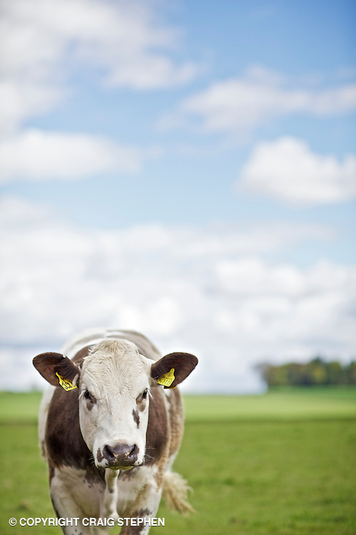 Commercial cattle in field, shallow DOF