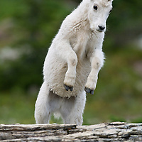 mountain goat kid jumping for joy over a log in glacier national park