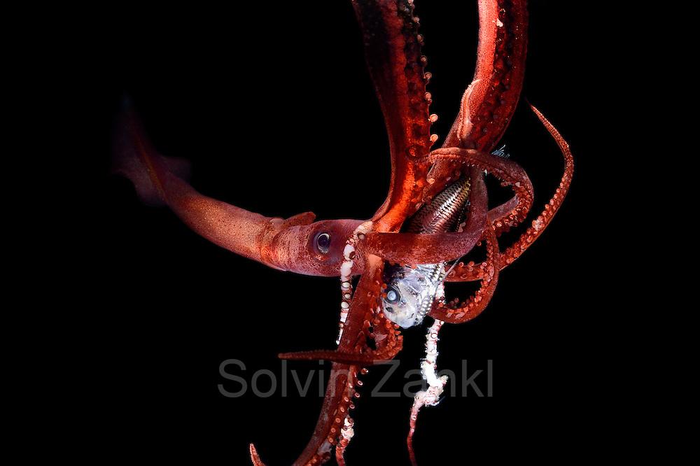 [captive] Deep Sea Squid (Chiroteuthis mega) (152) Atlantic Ocean, close to Cape Verde | Atlantischer Ozean, nahe Kap Verde