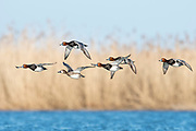 Redhead, Aythya americana, males & female, Saginaw Bay, Michigan