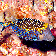 Spotted Boxfish inhabit reefs. Picture taken Raja Ampat, Ambon, Indonesia.
