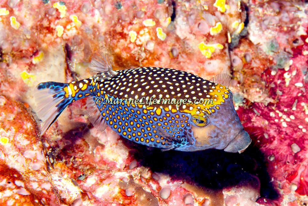 Spotted Boxfish inhabit reefs. Picture taken Raja Ampat, Ambon, Indonesia.