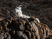 Dall sheep (Ovis dalli, or thinhorn sheep) are native to northwestern North America. They are white to slate brown in color and have curved, yellowish-brown horns. Denali National Park, Alaska, USA.