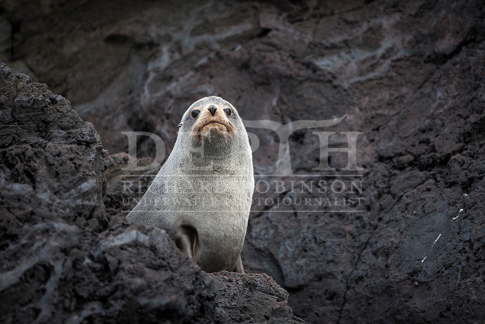 Arctocephalus forsteri (New Zealand Fur Seal) at the subantarctic Antipodes Islands, New Zealand.<br /> Tuesday 11 March 2014<br /> Photograph Richard Robinson &copy; 2014