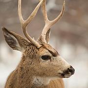 Deer Elk Caribou etc.