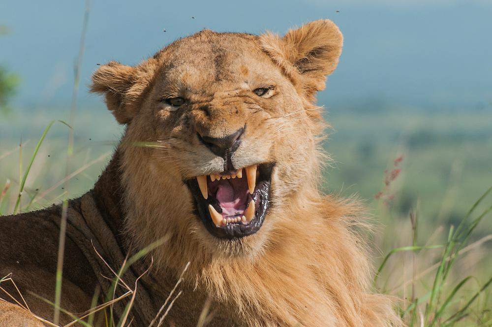 A lion roars in Kidepo National pak, Uganda.