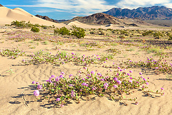 """Death Valley Wildflowers 6"" - Photograph of purple wildflowers in Death Valley. Ibex Dunes can be seen in the background."