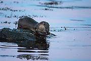 Otters washing his hands. High ISO   Oter vasker hendene sine. Høy ISO.