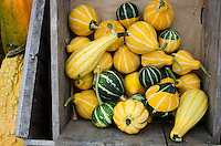 Organic yellow and green striped gourds piled in a crate at the Common Ground Fair farmers market, Unity Maine.