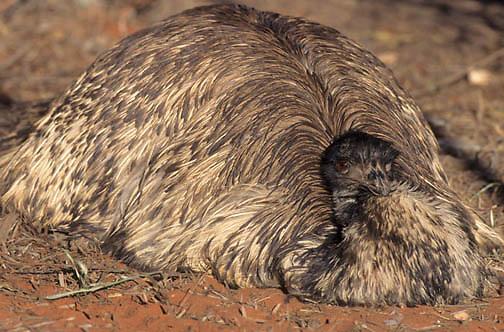 Emu, (Dromaius novaehollandiae) On nest. Australia.