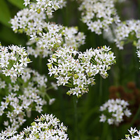 The flavourful and edible white flowers of Garlic Chives