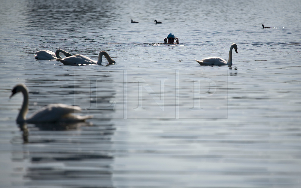 © Licensed to London News Pictures. 20/05/2020. London, UK. A member of the Serpentine Swimming club passes a group of swans while swimming in the open water of the Serpentine Lake in order to socially distance, at Hyde Park in London during lockdown. Government has announced a series of measures to slowly ease lockdown, which was introduced to fight the spread of the COVID-19 strain of coronavirus. Photo credit: Ben Cawthra/LNP