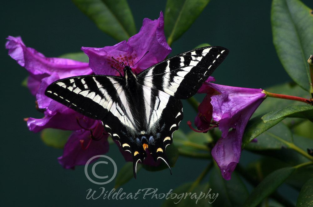 Western tiger swallowtail butterfly on rhododendron
