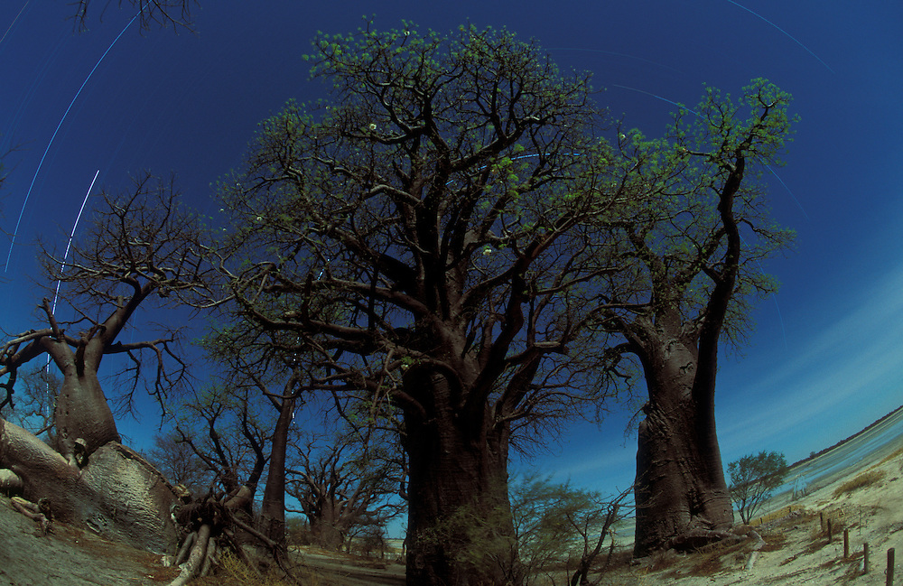Botswana, Nxai Pan National Park, Stars circle above Baines Baobab trees lit by gibbous moon in Kalahari Desert