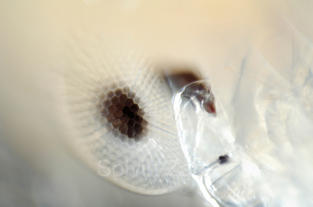 The eyes of the adult Phronima are a further feature of wonder in an animal already beset with extraordinary habits and adaptations. It has compound eyes, like most crustacea and insects, but unlike most it has four, not two. Each pair of eyes is situated on the side of the head. The outer and inner eye of each pair are actually in contact with each other. The outer eye is surrounded by a lozenge-shaped ball of eye-facet lenses commanding an enormous field of view - perhaps 270 degrees. One pair of eyes keeps a constant watch on the world ahead, whereas the other pair views the surroundings through the transparent walls of its temporary home. Phronima sp | Deep Sea plankton | Tiefsee Plankton