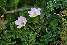 Zilverooievaarsbek, Geranium argenteum