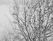 Starlings and blackbirds roosting in the winter time.<br /> Savannah National Wildlife Refuge. Hardeeville, SC