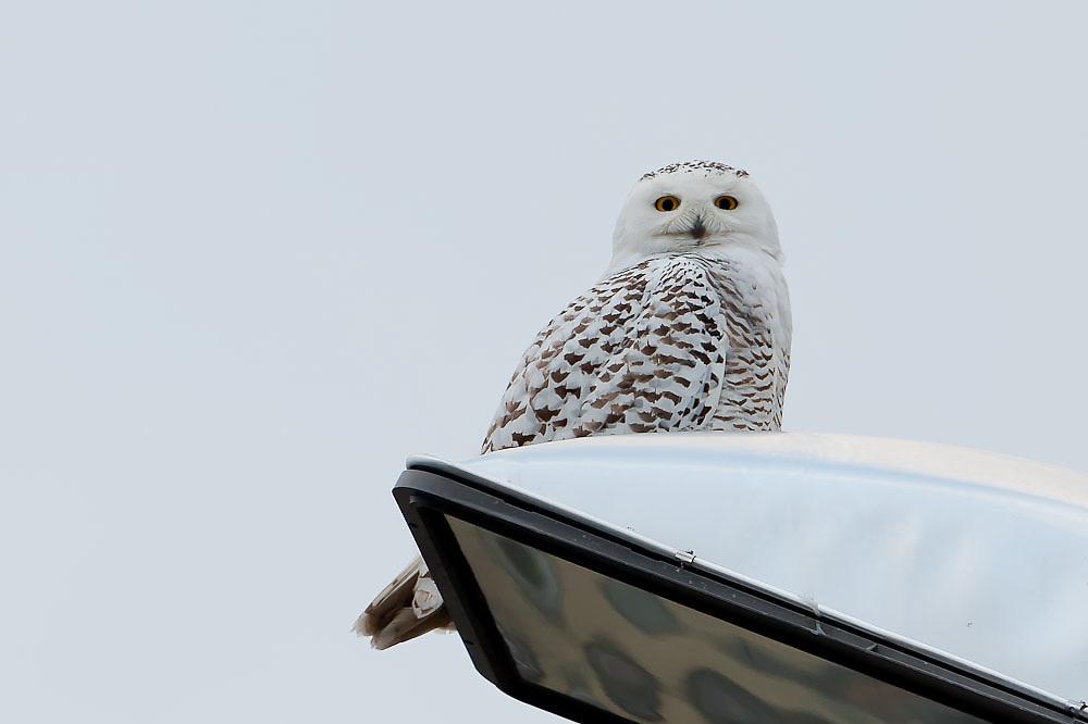 Snowy Owl Syracuse NY Airport