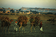 Camels carrying fuelwood for household use