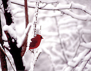 a male cardinal perches on a snowcovered tree branch no property release