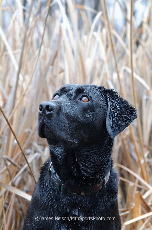 A black Labrador retriever watches as incoming ducks circle the decoys during a waterfowl hunt in southeastern Idaho.